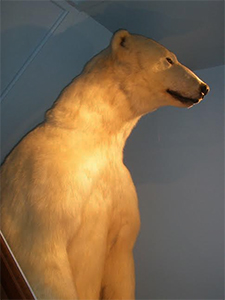 polar bear at Woodman Museum