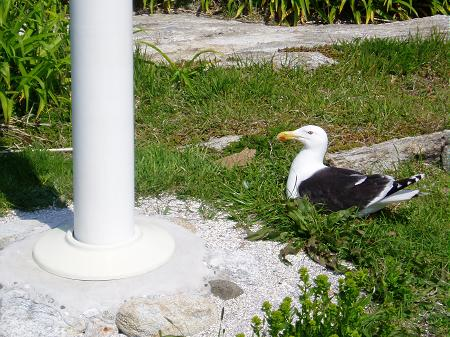 Gull nesting by flagpole